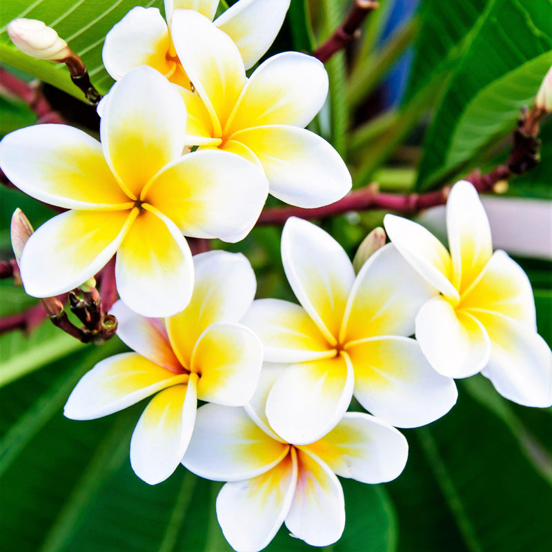 Plumeria Plant Yellow & Whites (Potted)