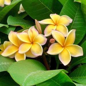 Yellow Rainbow Plumeria Flowers for Sale