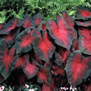Striking Red Caladium | Postman Joyner