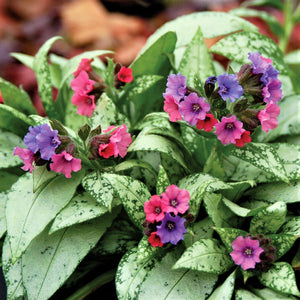 Pink and Blue Pulmonaria Silver Bouquet