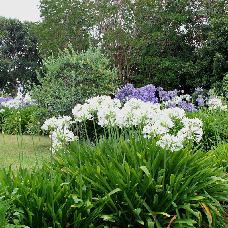 Wide Picture of Agapanthus Glacier Stream