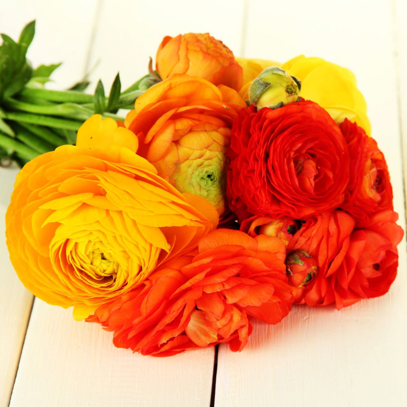 Ranunculus Tecolote® Burning Embers Collection