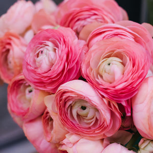 products/Ranunculus_Pink.SHUT.SQ.jpg