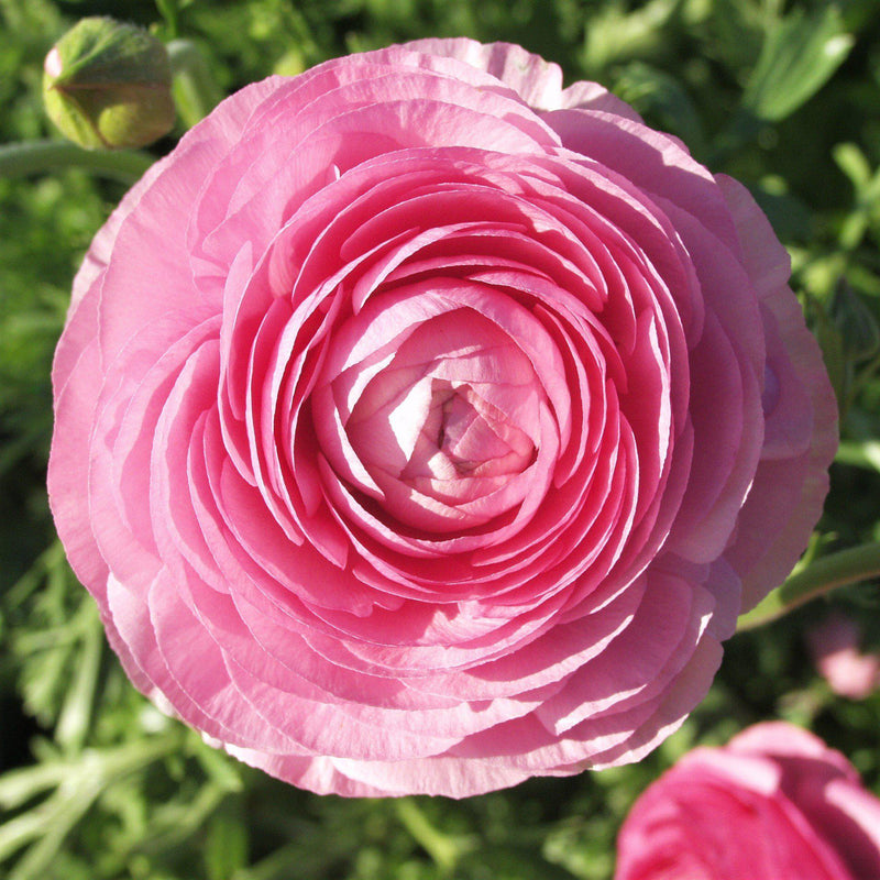 Overhead view of pink ranunculus flower
