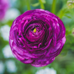 products/Ranunculus_Purple.SHUT.SQ.jpg