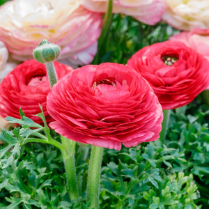 Rose Pink Ranunculus in Garden