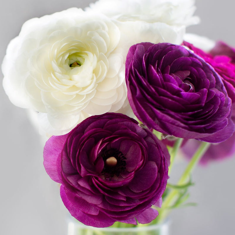 Ranunculus Tecolote® Royalty Collection