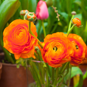 products/Ranunculus_Sunset.SHUT.jpg