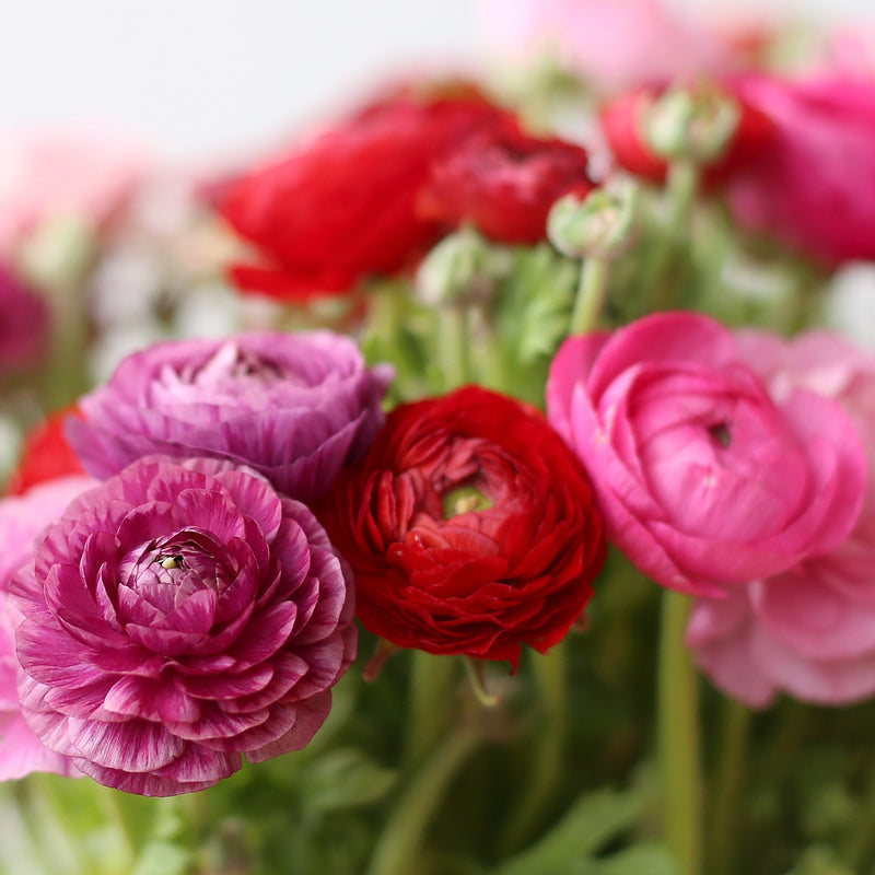 Ranunculus Tecolote® Very Berry Collection
