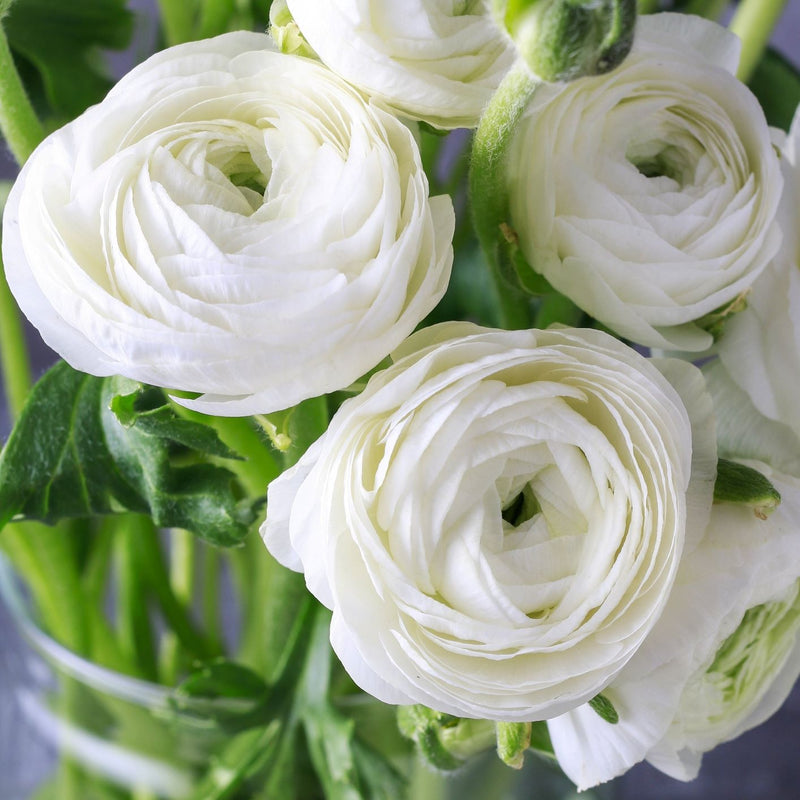 Ranunculus Tecolote® Romance Collection