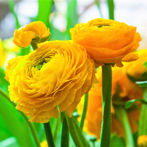 products/Ranunculus_Yellow.SHUT.SQ.jpg