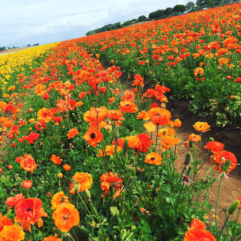 Fields of Tecolote Ranunculus Sunset
