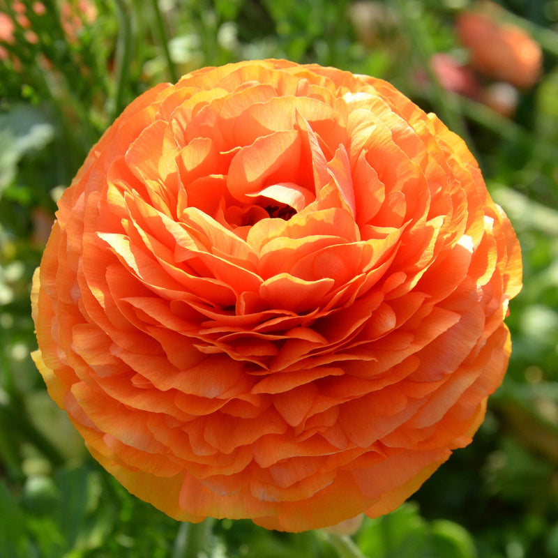 Orange Ranunculus Sunset