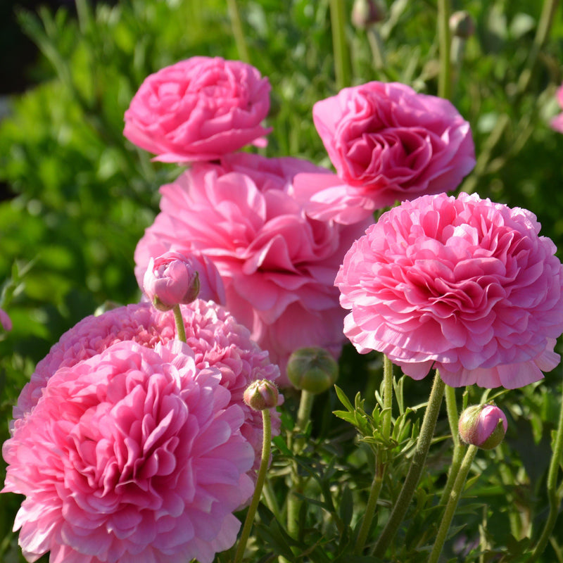 Multiple Pink Ranunculus Flowers