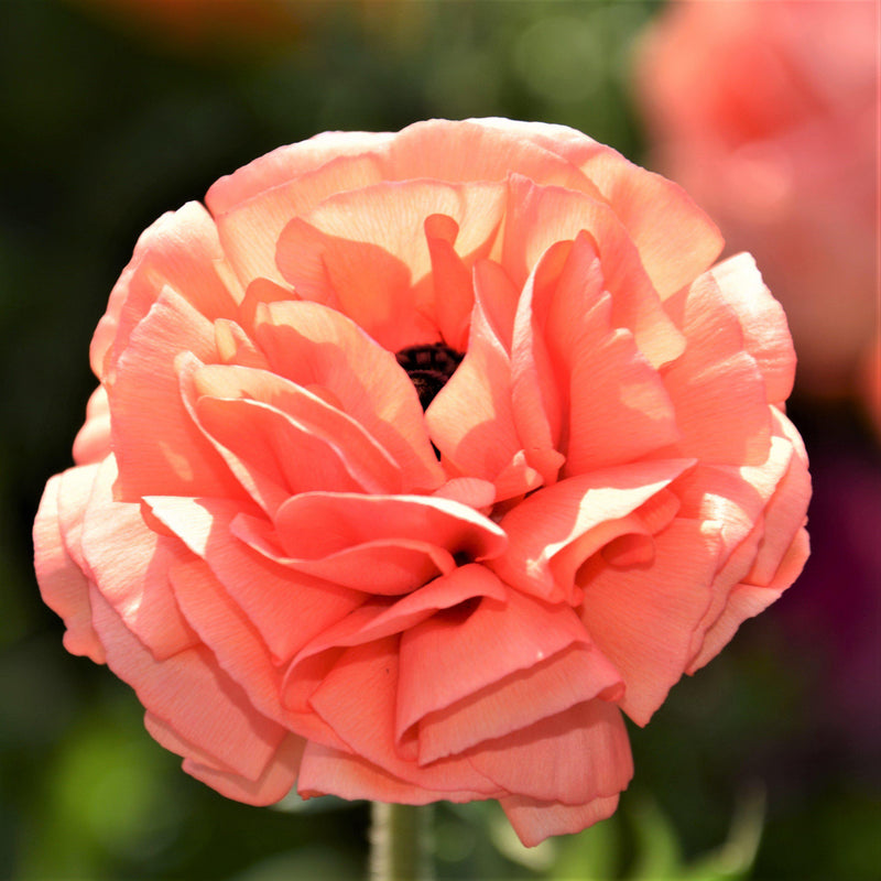Rose Ranunculus Flower