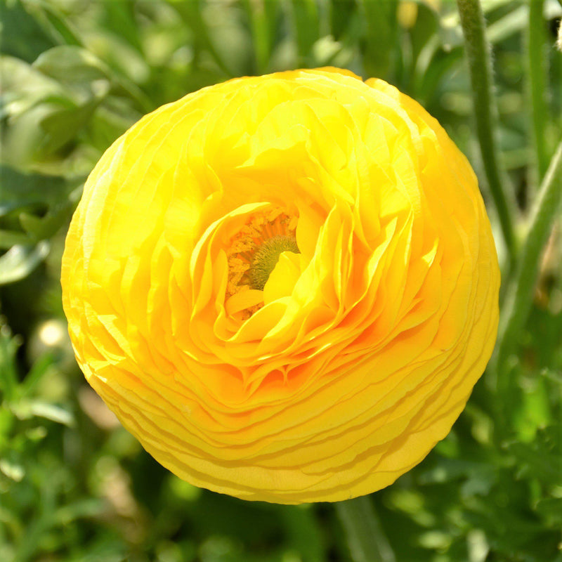 Ranunculus Bulbs For Sale Easy To Grow Bulbs