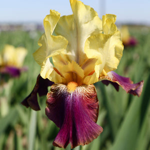Reblooming Bearded Iris Blatant