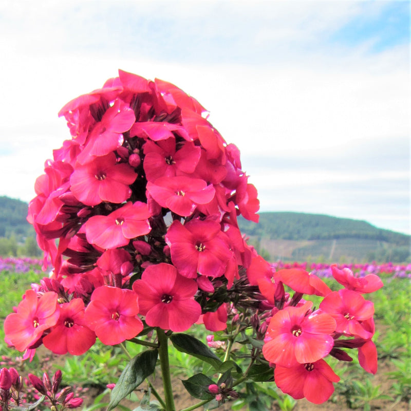 Phlox Red Flame