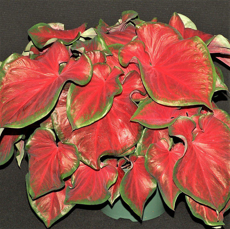 Caladium Red Ruffles