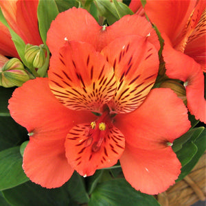 orange Alstroemeria Inca Reef