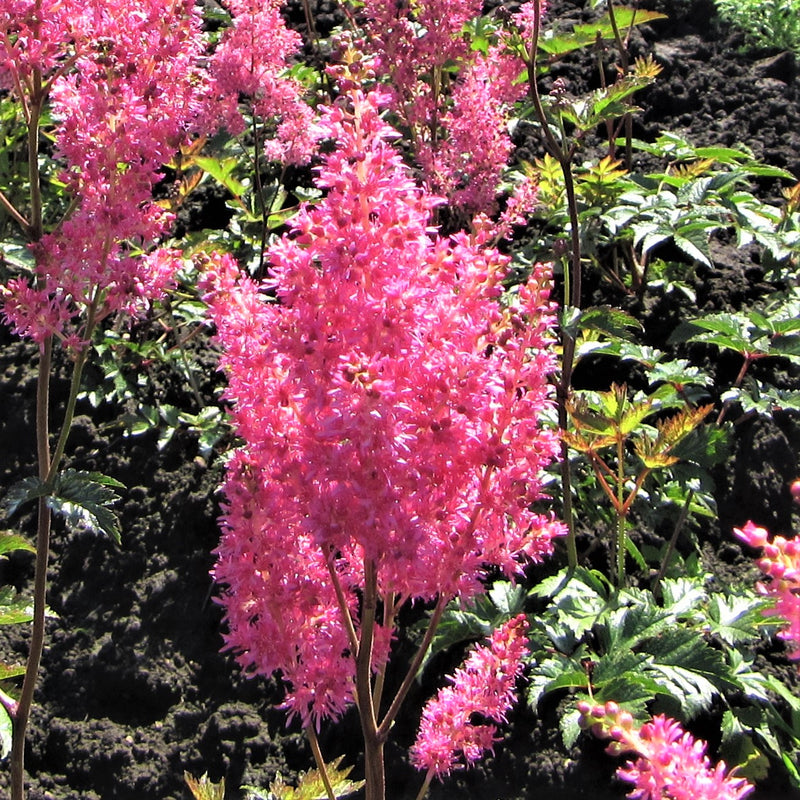 Astilbe Cotton Candy Collection