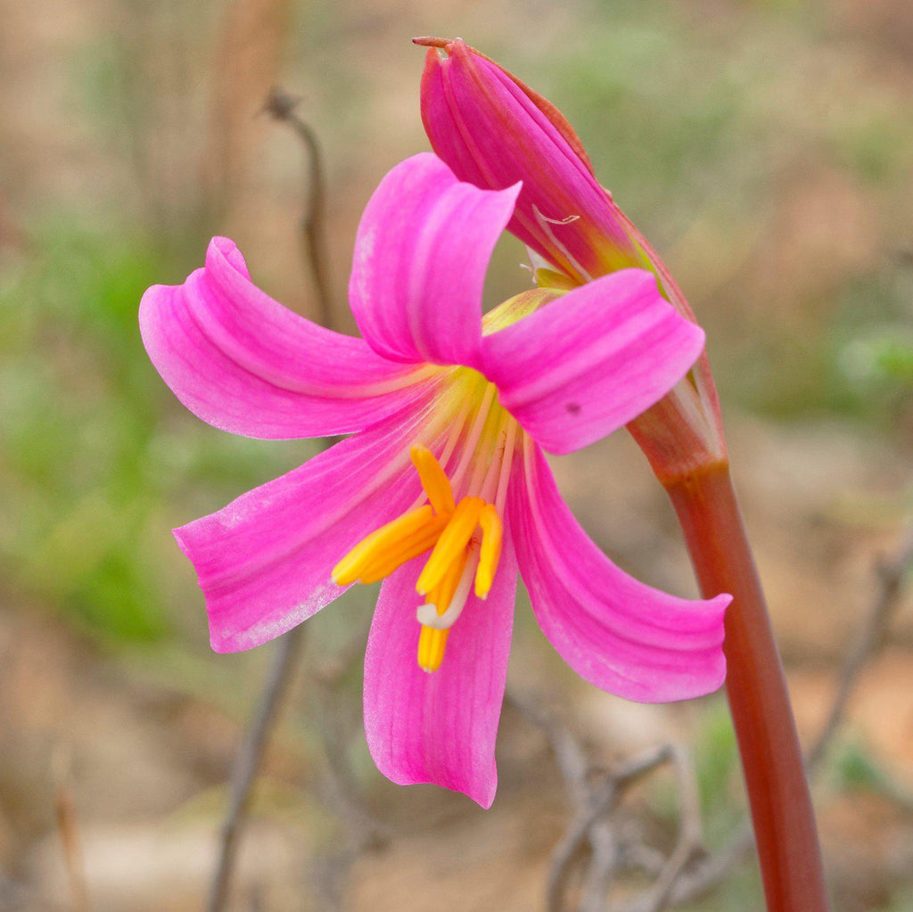 Oxblood Lilies Pink