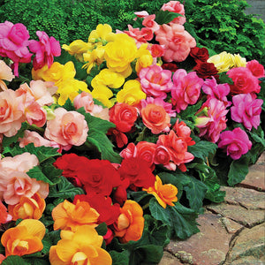 Begonia Bold Roseform Mix