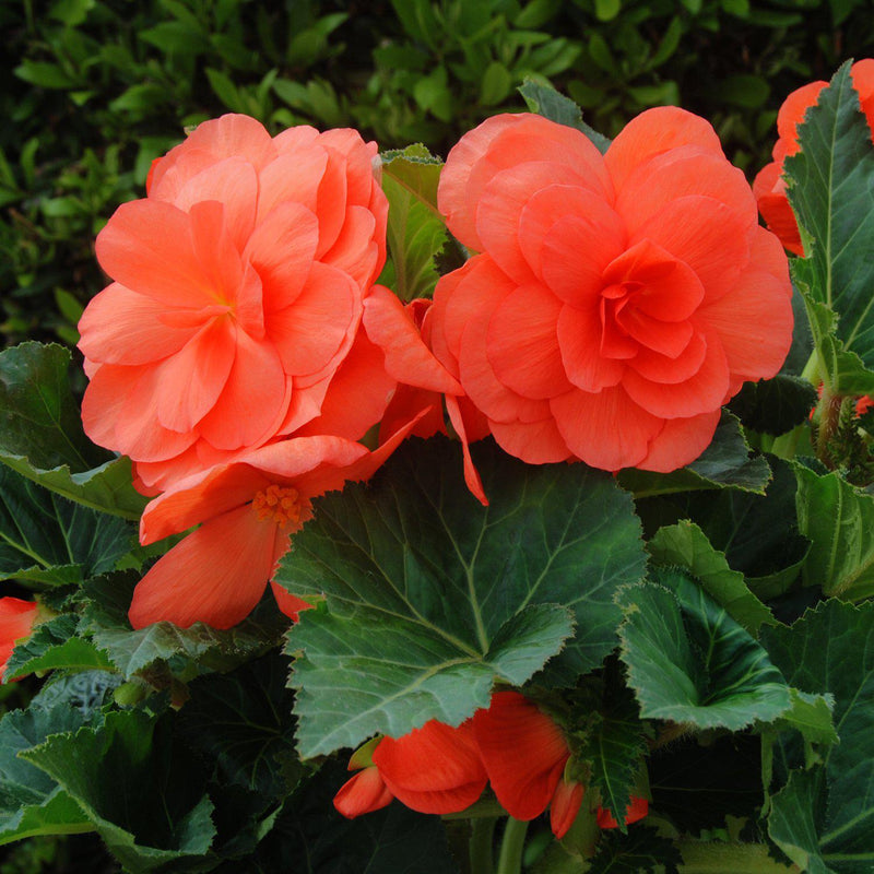 Multiple Roseform Salmon Begonia Blooms