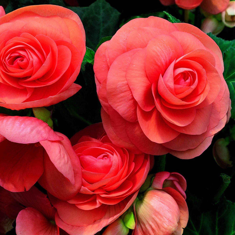 Perfect Roseform Salmon Begonia