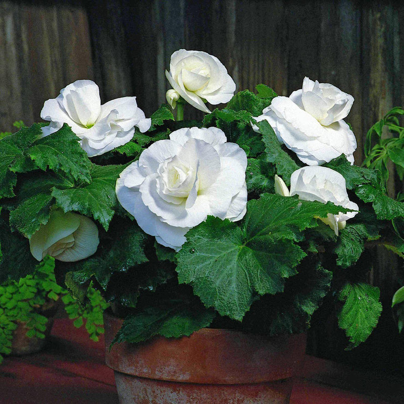 Planter Full of Roseform White Begonias