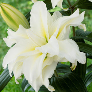 White double bloom lily