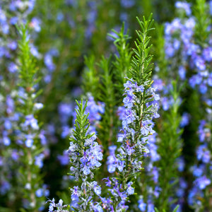 Tuscan Blue Rosemary in a field