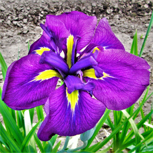 Japanese Iris Royal Robes