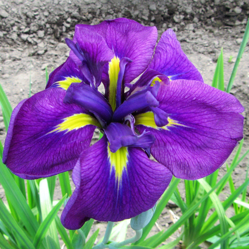 Purple and Yellow Flower in Japanese Iris Zen Garden Mix