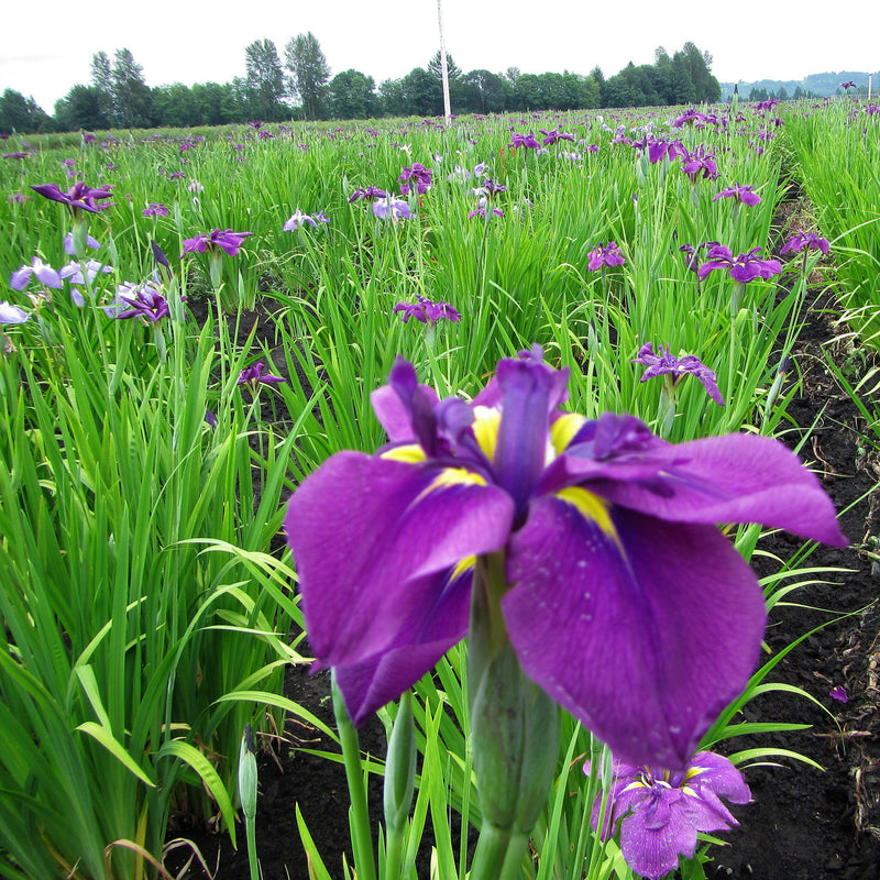 Field of Japanese Iris Royal Robes