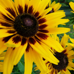 products/Rudbeckia_Denver_Daisy.SHUT.jpg