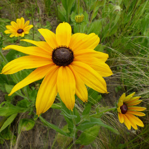 products/Rudbeckia_Goldsturm_1_.SHUT.jpg