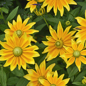 Rudbeckia Prairie Sun For Sale