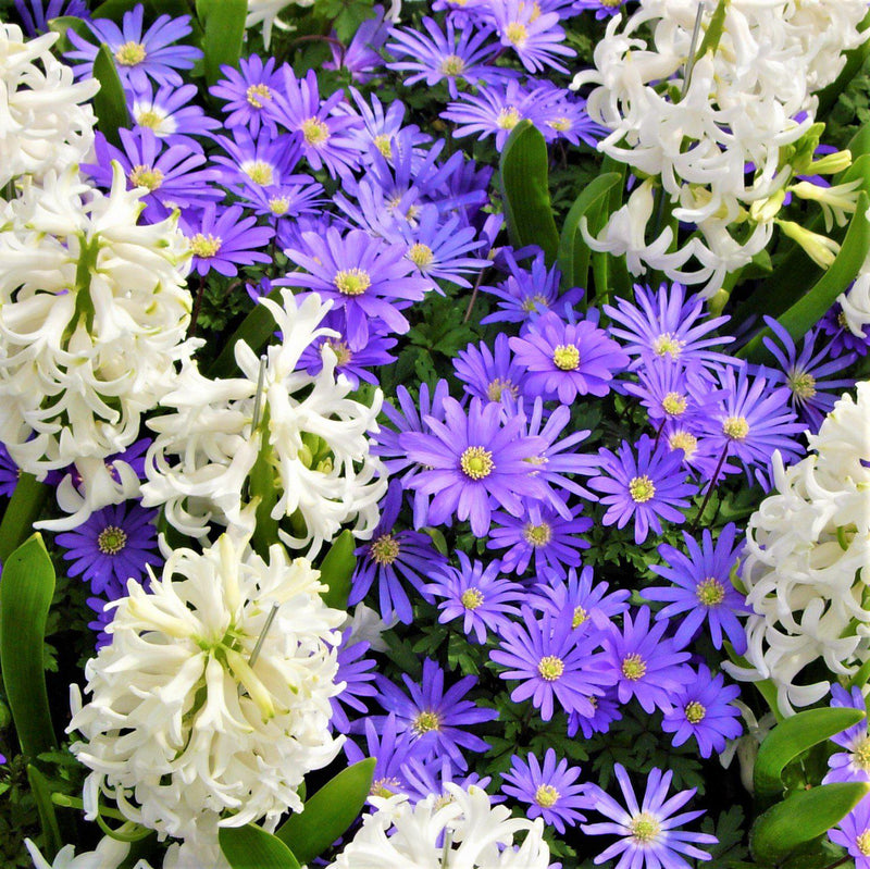 White hyacinth and blue anemone flowers