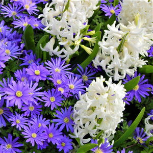 Blue anemone and white hyacinth flowers