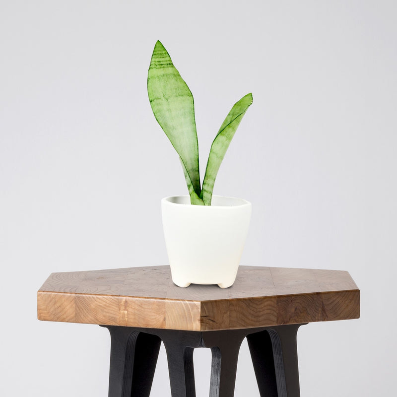 Sansevieria Moonshine in a White Ceramic Pot