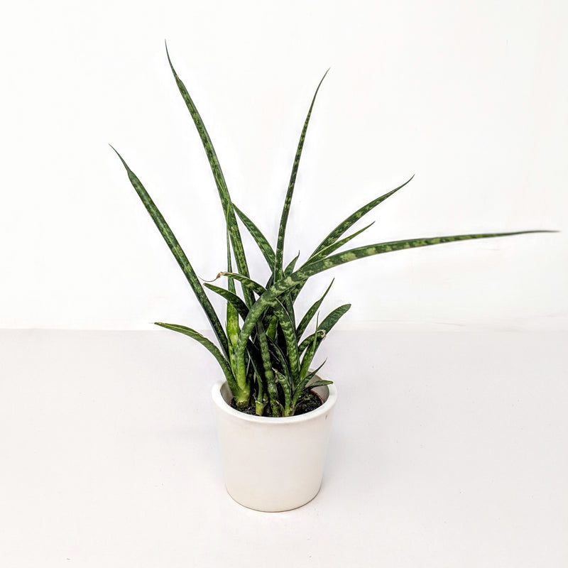 Sansevieria Fernwood in a Mini White Ceramic Pot