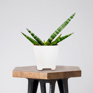 Sansevieria Starfish in a White Ceramic Pot