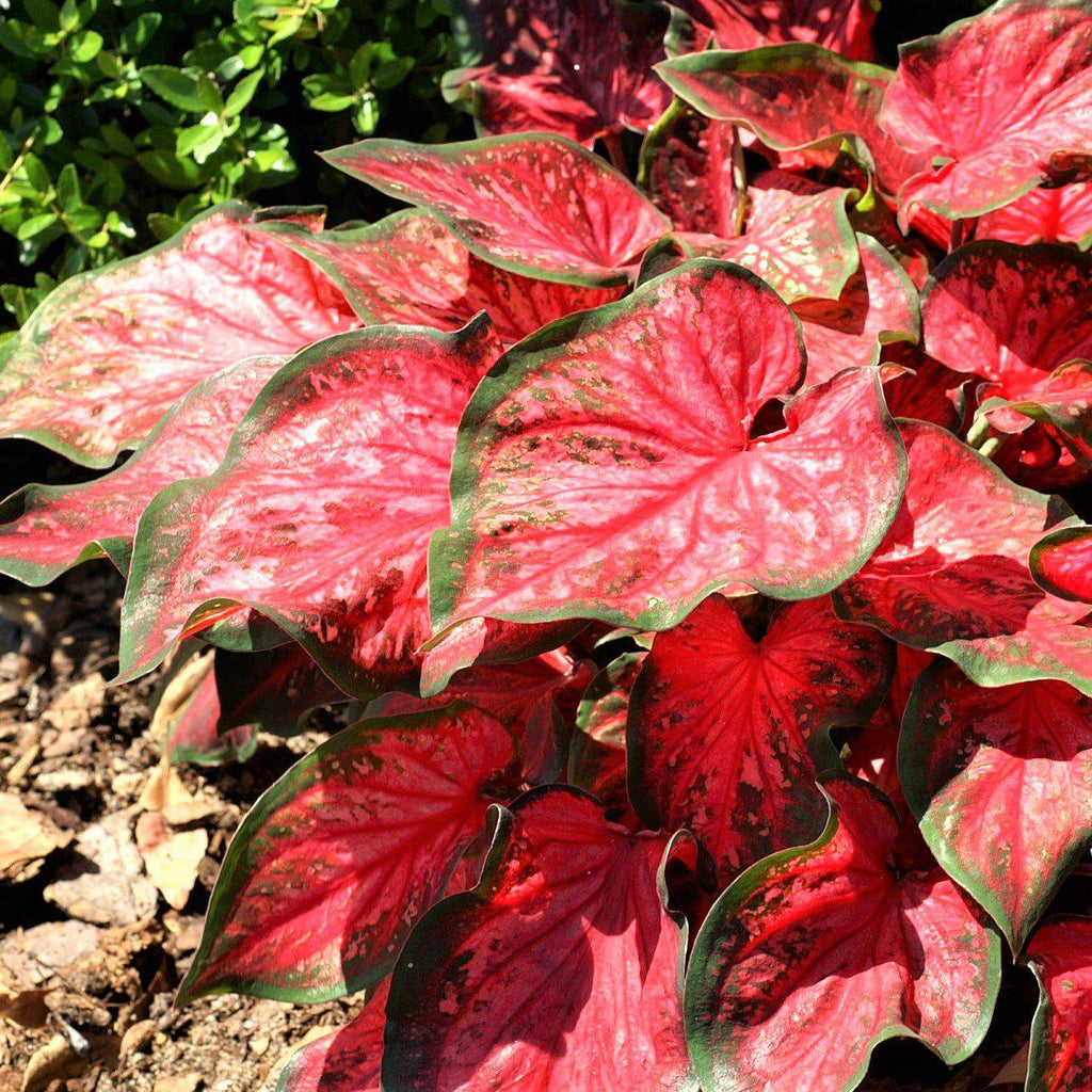 Bright Scarlet Caladium Bulbs For Sale Online Scarlet Flame