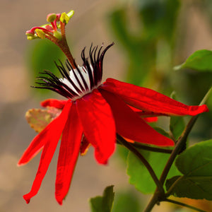 Passion Flower Passiflora Scarlet Flame (Fragrant)