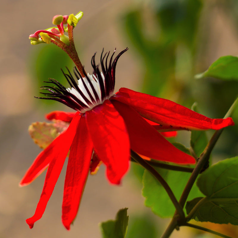 Scarlet passionflower