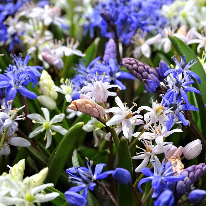 Alpine Squill Flower Bulbs For Sale