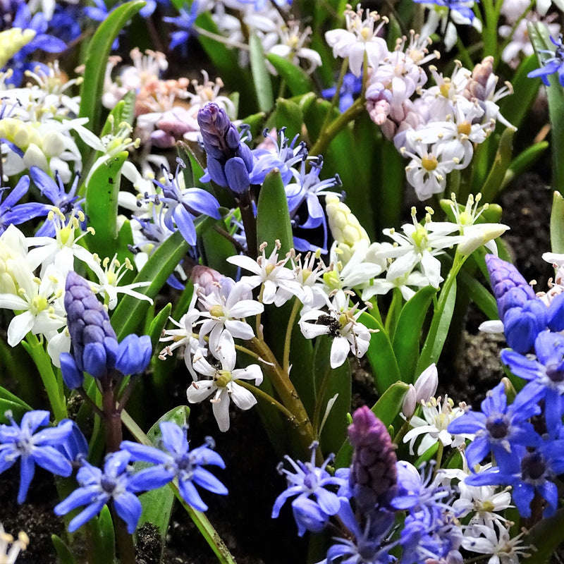 Garden of Alpine Squill Bulbs