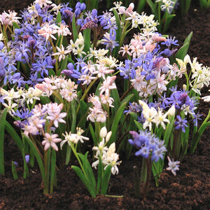 Blue, Pink, White Scilla Flowers