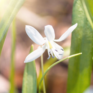 Beautiful White Scilla Bifolia Bulbs For Sale Online | Alba